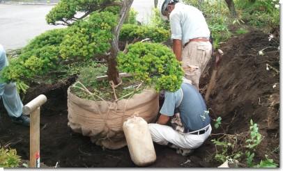 庭木移植~根巻き