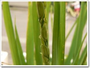 バケツ稲の花前兆.jpg