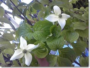 ヤマボウシの花h22.jpg