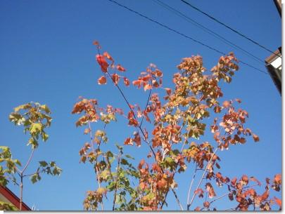 ルブラムカエデの紅葉.jpg