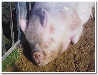 豚1026.jpg