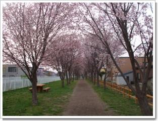 岩見沢北地区桜の名所