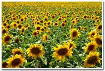 130 太陽の畑.jpg