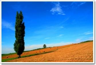 16 ポプラと麦の丘.jpg