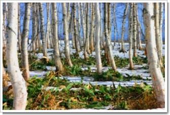 35 冬の白樺.jpg