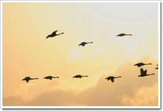 春鳥11(夕日に舞う)岩見沢.jpg