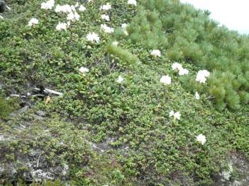 高山植物 089.jpg