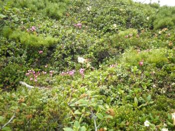高山植物 090.jpg