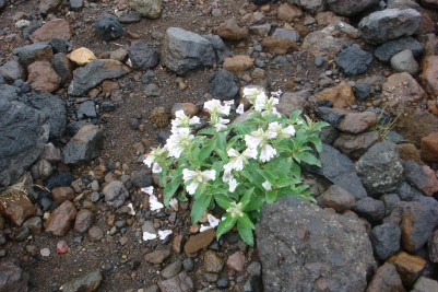 札幌山岳会  高山植物076.jpg